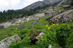 Wildflowers at Siberia. Wildflowers at South Siberia, natural park Ergaki Royalty Free Stock Image