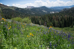Wildflowers in the Sierra Nevada Mountains Royalty Free Stock Image
