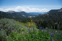 Wildflowers in the Sierra Nevada Mountains. Purple and Orange Wildflowers on the Pacific Crest Trail in the Sierras near Mammoth, California royalty free stock image