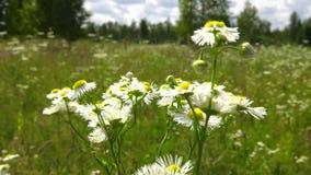 Wildflowers sind wie Kamille stock video footage