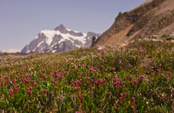 Wildflowers with snowy Mt. Shuksan in the distance. In Washington`s North Cascade Mountains Stock Images