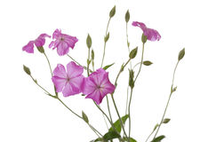 Wildflowers. Some pink wildflowers isolated on a white background Stock Image