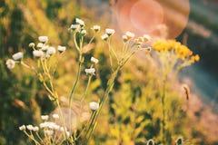 Wildflowers am Sonnenuntergang Lizenzfreies Stockbild
