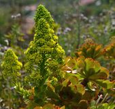 Wildflowers splendides d'aeonium Images libres de droits
