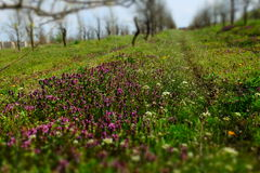 Wildflowers. Spring wildflowers in apple orchards Royalty Free Stock Images