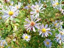 wildflowers su un fondo di erba verde Fotografie Stock