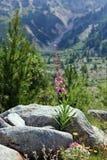 Wildflowers suizos del rastro de naturaleza de las montan@as Imágenes de archivo libres de regalías
