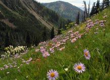 Wildflowers sul fianco di una montagna Fotografia Stock