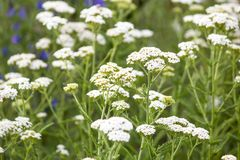 Wildflowers. Summer field. Natural environment and ecology Stock Photography