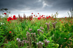 Wildflowers on summer meadow Royalty Free Stock Photos