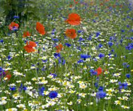 Wildflowers. Summertime meadow of colourful Wildflowers stock image