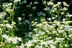 Wildflowers in the sun. Group of wildflowers taking in the sunlight.  Central Illinois, USA Stock Image