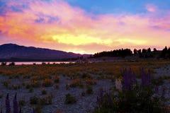 Wildflowers at sunrise on the banks of Lake Tekapo Royalty Free Stock Photos