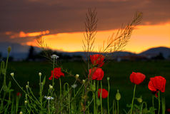 Wildflowers sunset Stock Photography