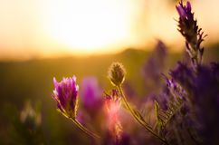 Wildflowers at sunset. In the summer royalty free stock photo