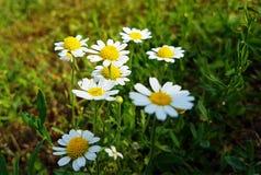 Wildflowers sur la pelouse rurale de champ Photographie stock libre de droits
