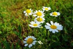 Wildflowers sur la pelouse rurale de champ Photos libres de droits