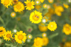 Wildflowers Tarweed στοκ φωτογραφία με δικαίωμα ελεύθερης χρήσης