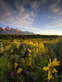 Wildflowers in the Tetons Royalty Free Stock Photo