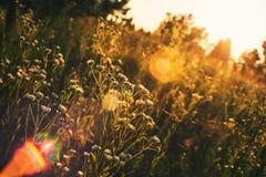 Wildflowers und Gänseblümchen bei Sonnenuntergang Stockfotografie