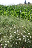 Wildflowers und Mais lizenzfreie stockfotos