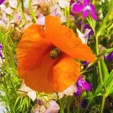 Wildflowers und Mohnblumen Stockfoto