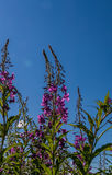 Wild purple flowers, under blue sky, below Stock Photos