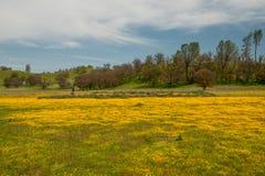 Wildflowers van Californië tijdens super bloeiseizoen stock afbeeldingen