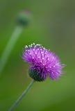 Wildflowers van de distel Royalty-vrije Stock Afbeeldingen