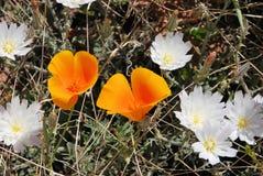 Wildflowers van de woestijn stock foto