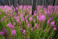 Wildflowers van het wilgeroosje in een gebrand bos royalty-vrije stock afbeeldingen