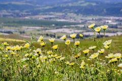 Wildflowers van Layiaplatyglossa riepen algemeen kusttidytips die op een heuvel groeien; vage stad op de achtergrond, Californië stock fotografie