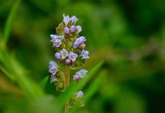 Wildflowers variopinti, strictum di echium Fotografia Stock