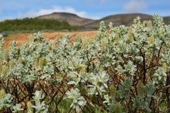 Wildflowers verdes islandeses típicos con descensos frescos del rocío Fotografía de archivo libre de regalías