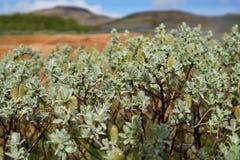 Wildflowers verdi islandesi tipici con le gocce fresche di rugiada Fotografia Stock Libera da Diritti