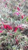 Wildflowers vermelhos Imagem de Stock Royalty Free
