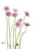 Wildflowers viola Fotografia Stock Libera da Diritti