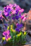 Wildflowers viola che guardano la pansé di Loke fotografia stock libera da diritti