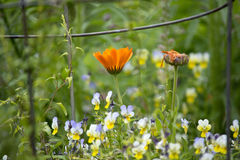 Wildflowers violas and orange composites in a field with wire fence. Wildflower scene with violas and orange composite flowers under a wire fence Royalty Free Stock Image