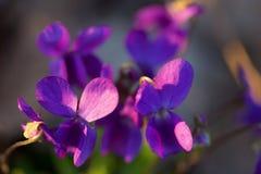 Wildflowers violets regardant la pensée de Loke photos stock