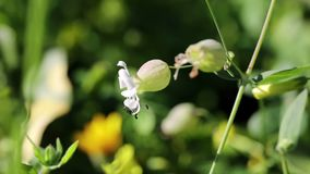 Wildflowers vulgaris de Silene - coronaria de vejiga o maidenstears - en naturaleza almacen de video