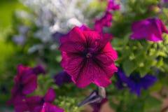 Wildflowers w ogródzie, Polska Obrazy Royalty Free