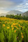 Wildflowers in the Wasatch Mountains, Utah, USA. Royalty Free Stock Photography