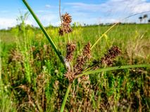 Pine Glades Natural Area in Florida Swamps. Wildflowers and weeds in the Florida Swamps Stock Photo