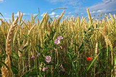 Wildflowers in wheat field Royalty Free Stock Photography