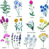 Wildflowers on a white background. Chicory, Lily of the valley. royalty free illustration