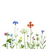 Wildflowers. Wild flowers on a white background. Watercolor illustration Stock Photography