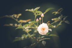 Wildflowers. In the wild, roses royalty free stock photo