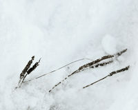 Wildflowers in Winter. Wildflowers up close on a cold snowy day Royalty Free Stock Photo
