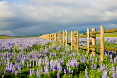 Wildflowers in wyoming. Wildflowers in the Bighorn Mountains, Wyoming. Lupine / Lupin along a fence Stock Photos